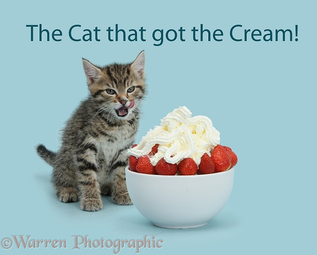 Cute tabby kitten, Stanley, 7 weeks old, licking his lips after eating strawberries and cream