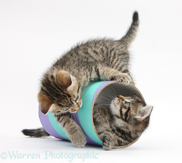 Two cute tabby kittens, Stanley and Fosset, 7 weeks old, playing with a tube, white background