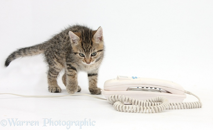 Tabby kitten, Stanley, 9 weeks old, looking suspiciously at a telephone, when it rings, white background