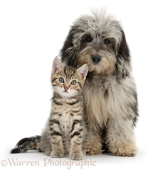 Tabby kitten, Stanley, 8 weeks old, with fluffy black-and-grey Daxie-doodle pup, Pebbles, white background