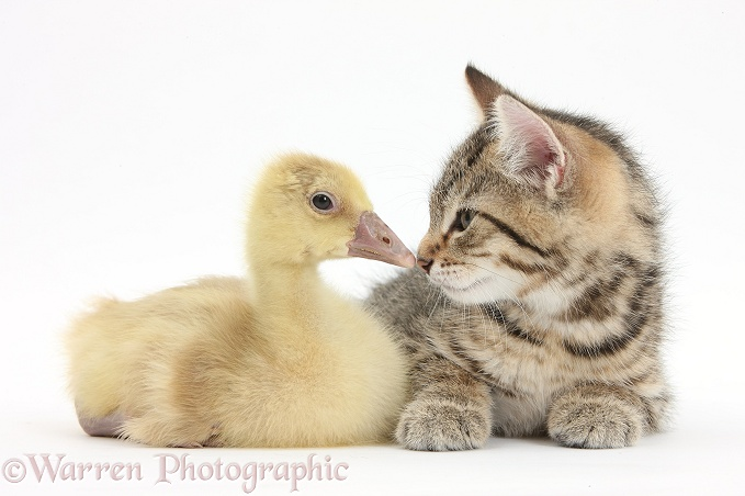 Cute tabby kitten, Stanley, 9 weeks old, nose to beak with yellow gosling, white background