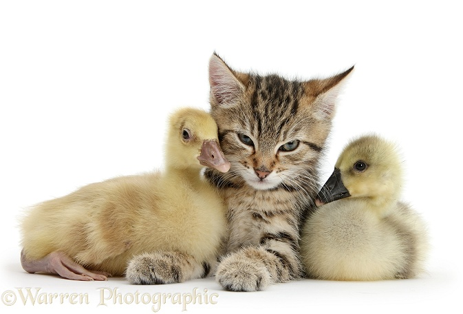Cute tabby kitten, Stanley, 9 weeks old, with yellow goslings, white background