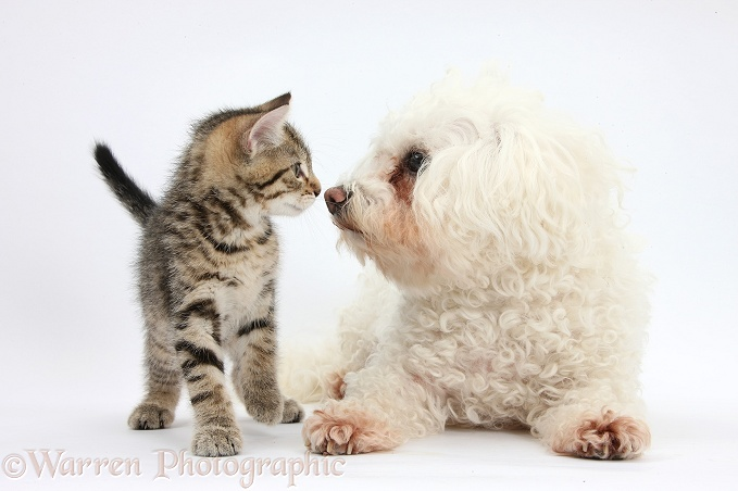 Cute tabby kitten, Stanley, 9 weeks old, with Bichon Frise, Poppy, white background