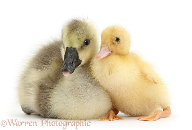 Yellow gosling and duckling together, white background