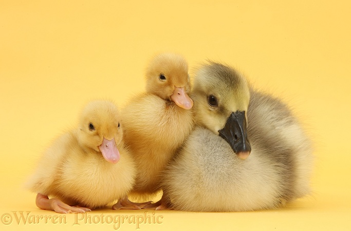 Embden x Greylag Gosling with yellow Call Ducklings on yellow background