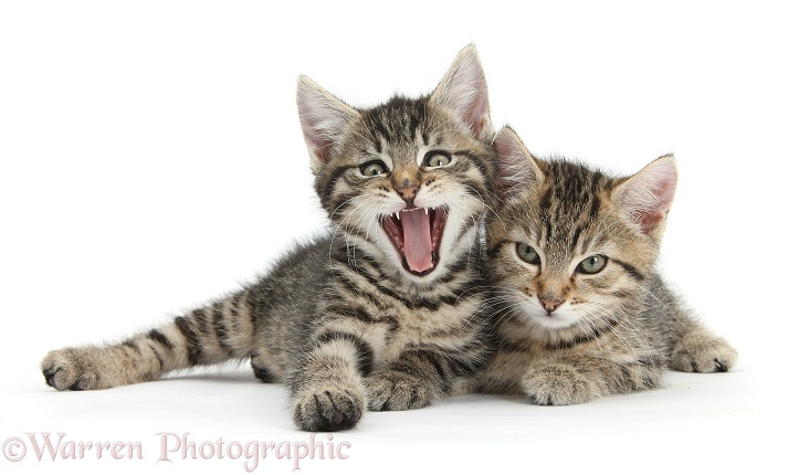 Cute tabby kittens, Stanley and Fosset, 9 weeks old, lounging together, Fosset yawning, white background