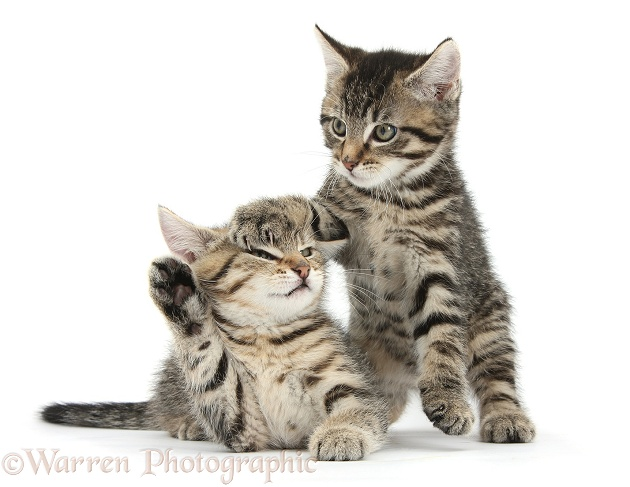 Cute tabby kittens, Stanley and Fosset, 9 weeks old, white background