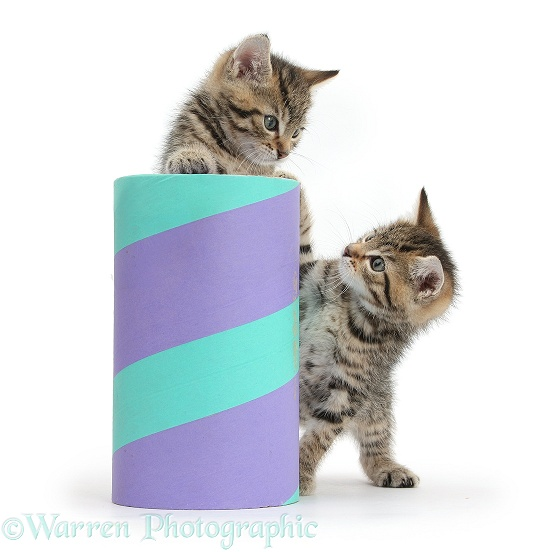 Two cute tabby kittens, Stanley and Fosset, 7 weeks old, playing with a cardboard tube, white background