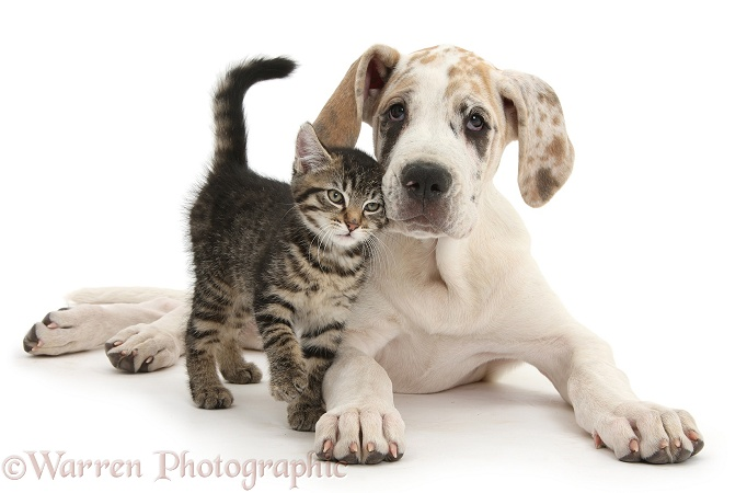 Cute tabby kitten, Fosset, 10 weeks old, with Great Dane pup, Tia, 14 weeks old, white background
