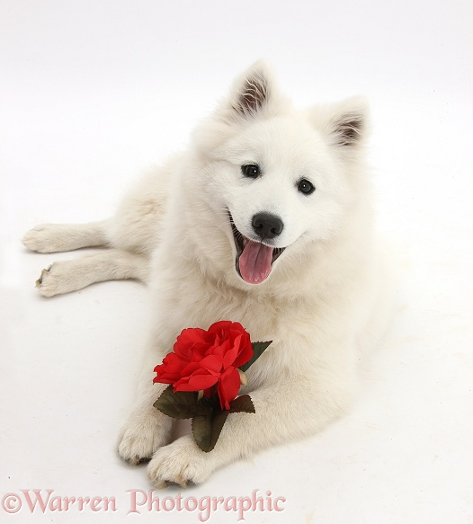 White Japanese Spitz dog, Sushi, 6 months old, holding a red rose, white background