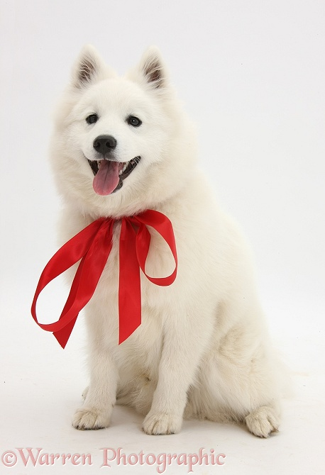 White Japanese Spitz dog, Sushi, 6 months old, sitting, wearing a red bow, white background
