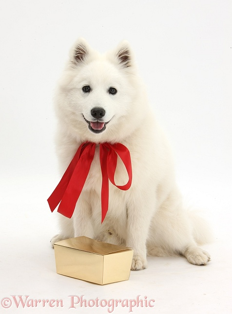White Japanese Spitz dog, Sushi, 6 months old, sitting with present and wearing a red bow, white background