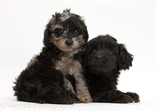 Black and black-and-grey merle Daxiedoodle pups, white background