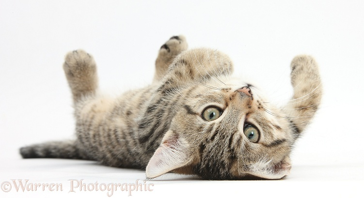 Tabby male kitten, Stanley, 12 weeks old, rolling playfully on his back, white background
