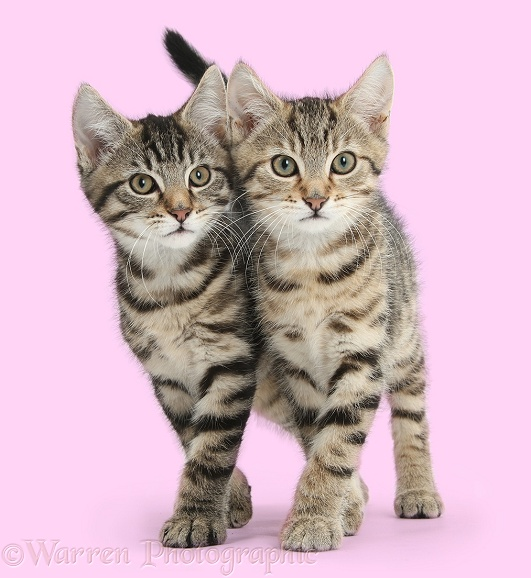Tabby kittens, Stanley and Fosset, 12 weeks old, walking together in unison, white background