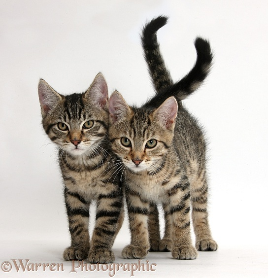 Tabby kittens, Stanley and Fosset, 12 weeks old, walking together, white background