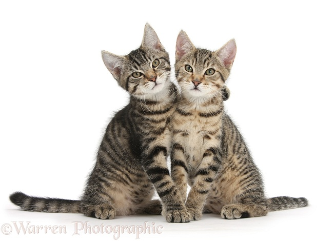 Tabby kittens, Stanley and Fosset, 3 months old, sitting and snuggling together, white background