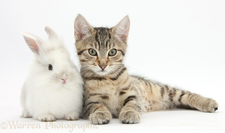 Tabby kitten, Stanley, 3 months old, with cute baby white rabbit, white background
