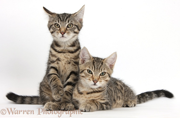 Tabby kittens, Stanley and Fosset, 3 months old, lounging together, white background