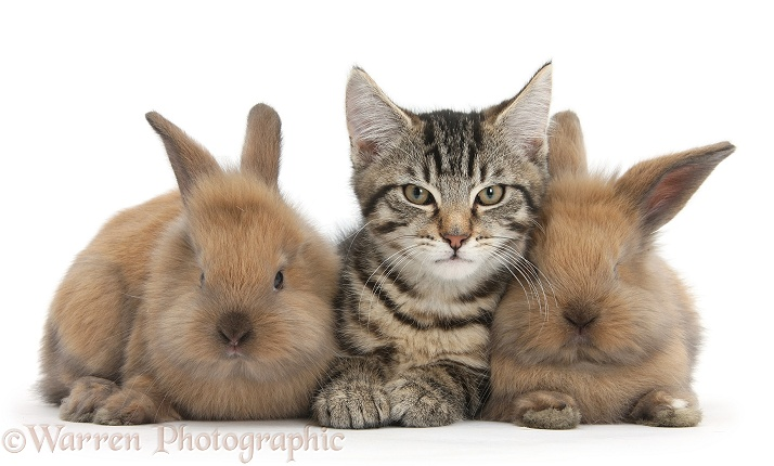 Tabby kitten, Fosset, 3 months old, with baby Lionhead-cross rabbits, white background