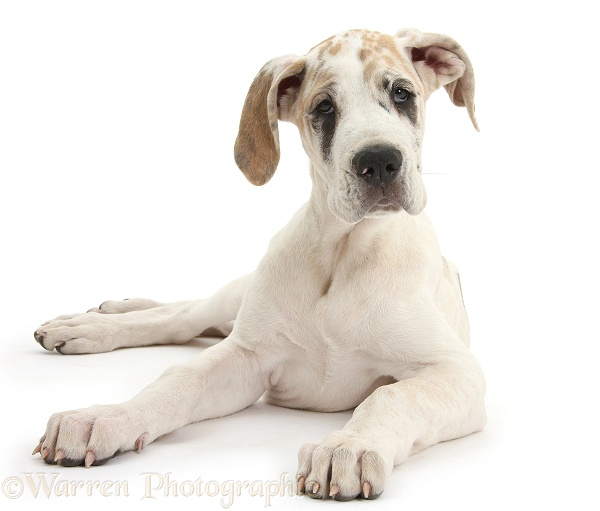 Great Dane pup, Tia, 14 weeks old, lying with head up, white background