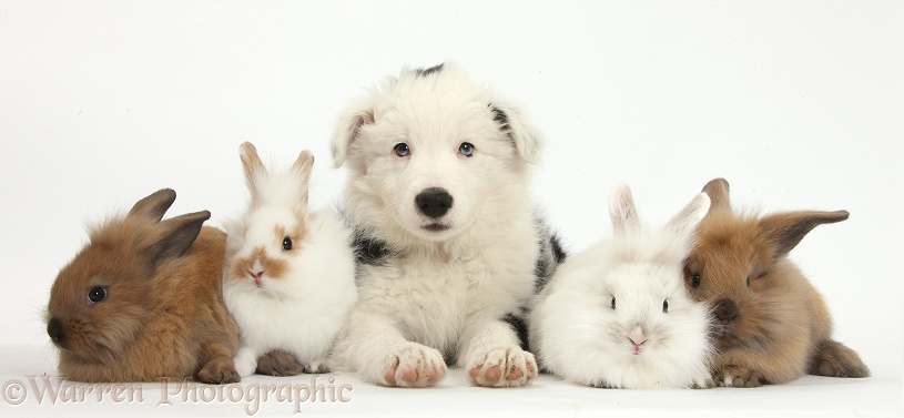 Collie Dogs As Pets