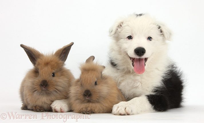 Black-and-white Border Collie bitch pup, Ice, 9 weeks old, with two baby rabbits, white background
