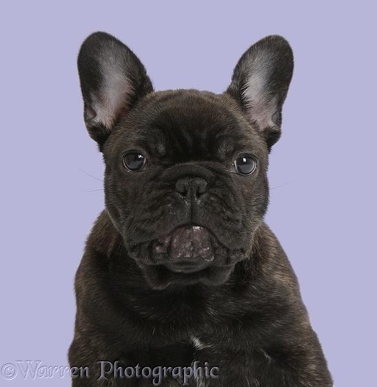 WP35753 Dark brindle French Bulldog pup, Bacchus , 9 weeks old.