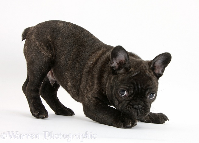 Dark brindle French Bulldog pup, Bacchus, 9 weeks old, in play-bow stance, white background