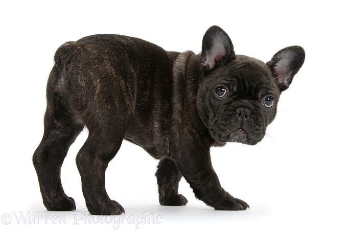 Dark brindle French Bulldog pup, Bacchus, 9 weeks old, white background