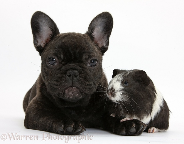Dark brindle French Bulldog pup, Bacchus, 9 weeks old, with Guinea pig, white background