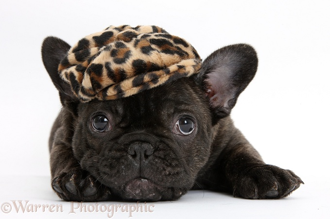 Dark brindle French Bulldog pup, Bacchus, 9 weeks old, wearing a cap, white background