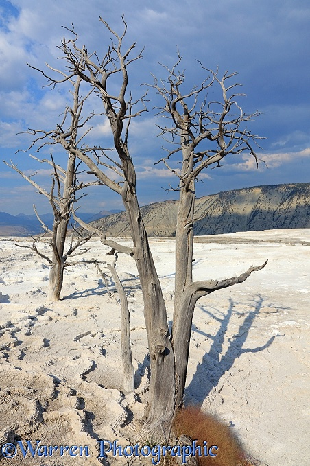 Dead tree on travertine limestone terraces.  Yellowstone, USA