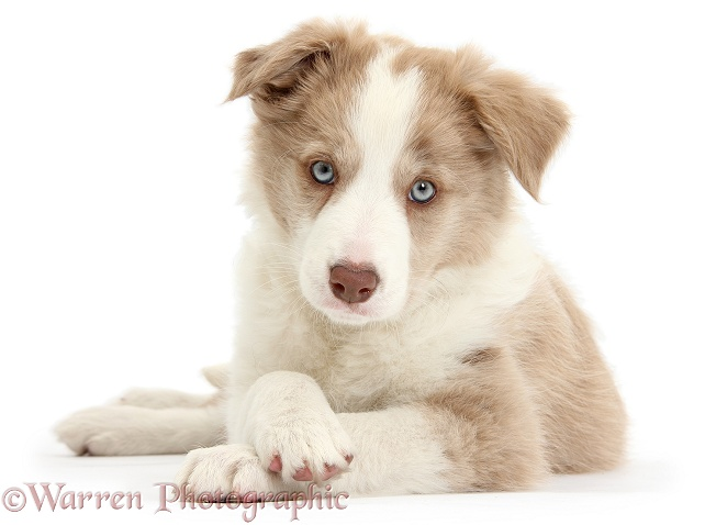 Lilac Border Collie pup, Tia, lying with head up and paws crossed, white background