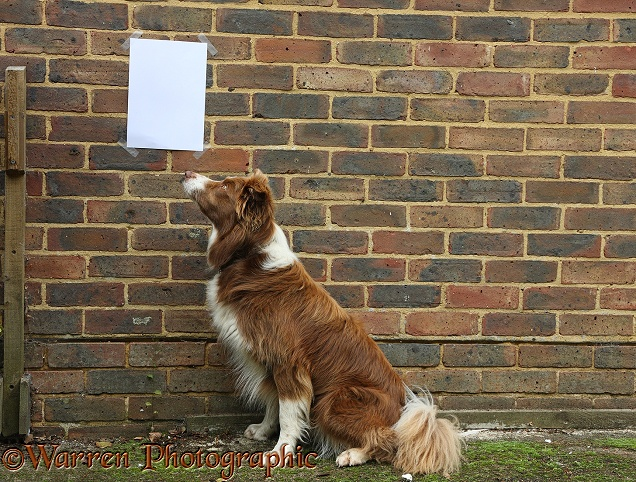 Border Collie dog, Milo, looking at a notice on a brick wall