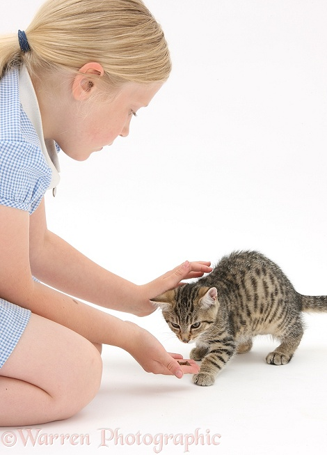 Siena giving tabby kitten, Stanley, 3 months old, some treats, white background