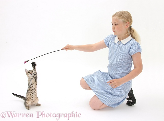 Siena playing with tabby kitten, Stanley, 3 months old, using a kitten fishing toy, white background