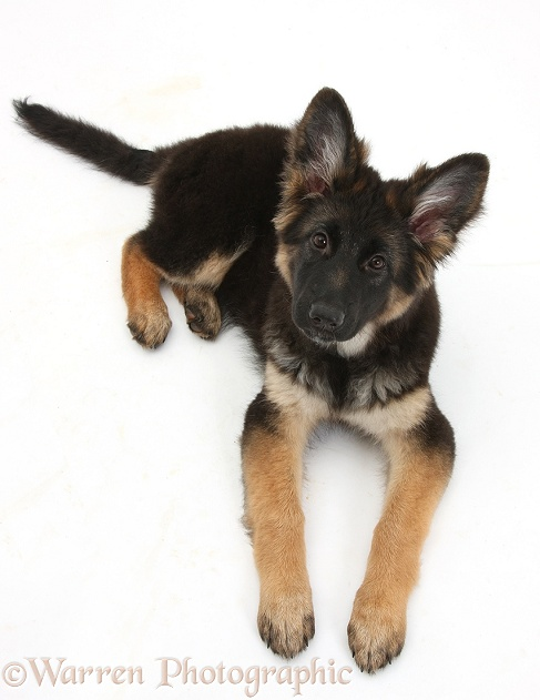 German Shepherd Dog bitch pup, Coco, 14 weeks old, lying down and looking up, white background