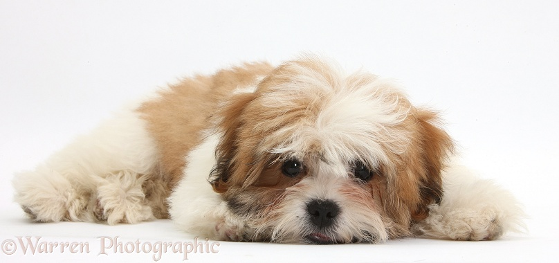 Maltese x Shih-tzu pup, Leo, 13 weeks old, lying with chin on the floor, white background