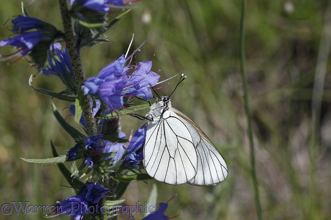 Black-veined White butterfly (Aporia crataegi) feeding on Viper's Bugloss (Echium vulgare).  Europe