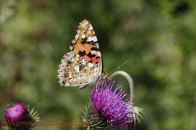 Painted Lady Butterfly (Vanessa cardui) feeding on thistle.  Europe, Africa & Asia