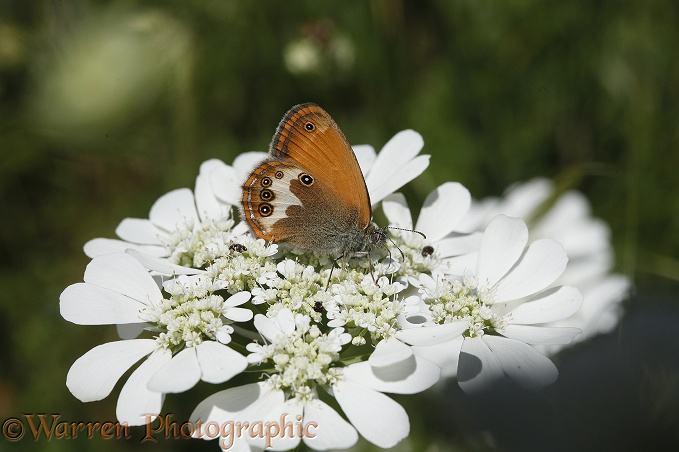 Pearly Heath Butterfly (Coenonympha arcania).  Europe,
