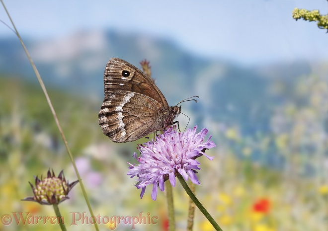 Great Sooty Satyr butterfly (Satyrus ferula) on Field Scabious (Knautia arvensis).  Southern Europe