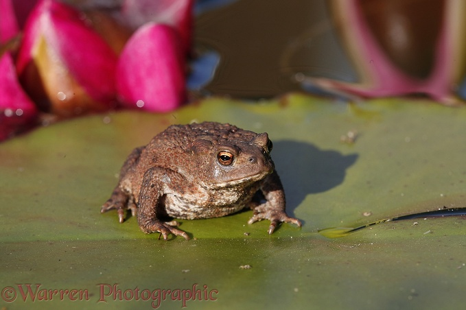 Common Toad (Bufo bufo) on a lily pad.  Europe including Britain