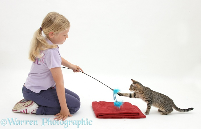 Siena using a lure to lead tabby kitten, Stanley, 4 months old, onto a mat, white background