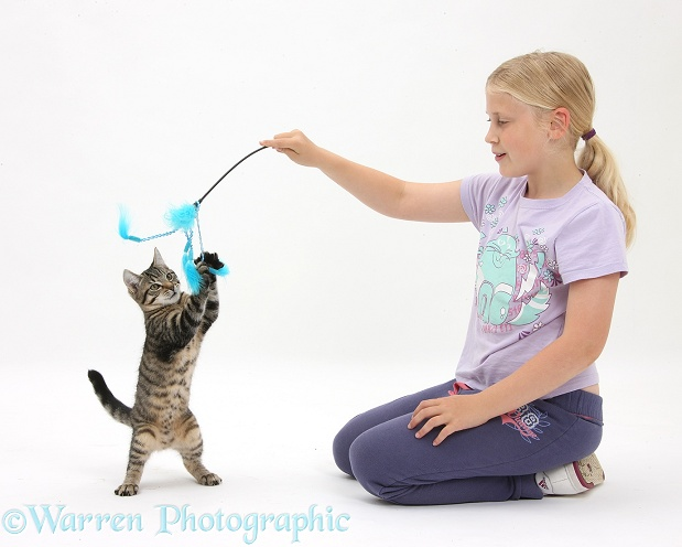Siena playing with tabby kitten, Fosset, 4 months old, using a kitten fishing toy, white background