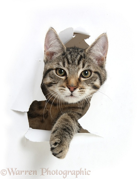 Tabby kitten, Fosset, 4 months old, breaking through paper, white background