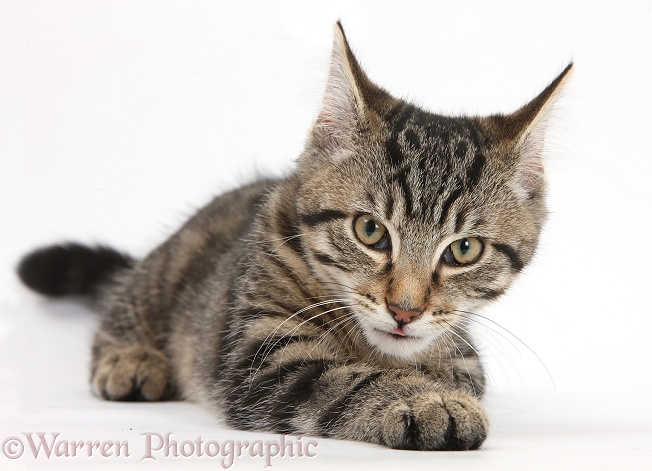 Tabby male kitten, Fosset, 3 months old, lying with his head up, white background