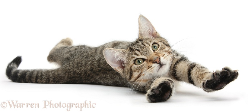 Tabby male kitten, Stanley, 4 months old, lying and stretching out, white background