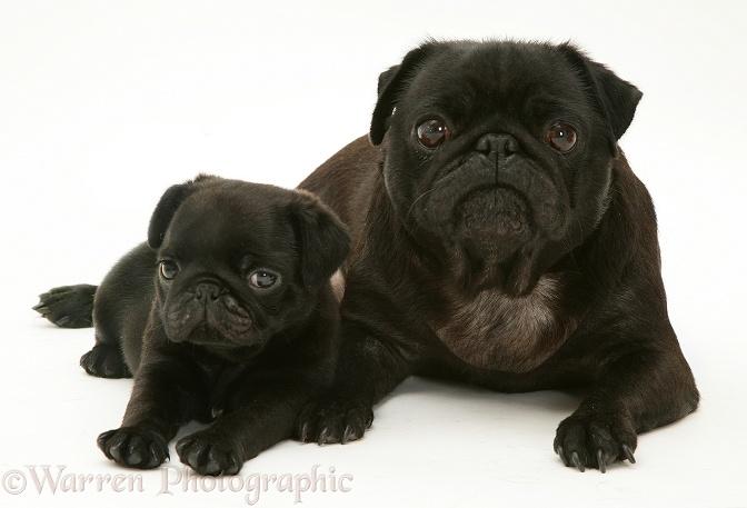 pug puppies #11